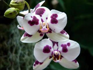Orhidee (Orchidaceae): origine, �nmulţire, varietăţi #2